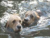Otterhounds swimming