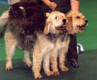 Otterhound brace