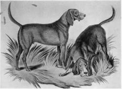 Bloodhounds c 1800