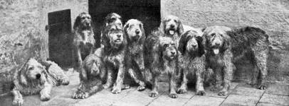 Pack of Otterhounds c 1930
