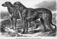 Irish Wolfhounds 1866
