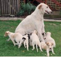 Borzoi mother and pups