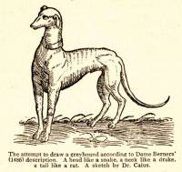 Greyhound drawn by Dr Caius