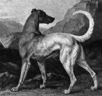 Irish Wolfhound 1803