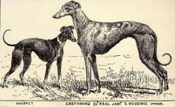 Whippet and Greyhound 1900