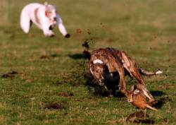 Greyhounds Coursing