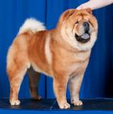 Chow (Smooth Coat)