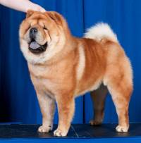 Chow Chow (Smooth Coat)
