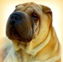 Chow Chow and Shar Pei » JaneDogs