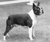 Boston Terrier c 1980
