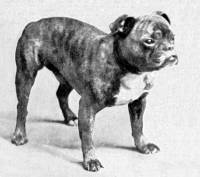 Toy Bulldog c 1900