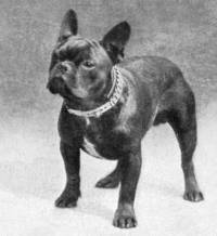 French Bulldog c 1902