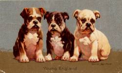 Bulldog Pups c 1930