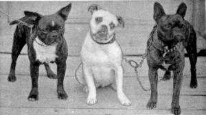 Toy Bulldogs c 1905