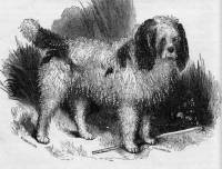 Early Poodle or Barbet c 1846