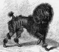 Poodle - curly c 1876