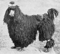 Poodle - corded c 1907