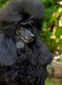 Poodle (Mini) Black