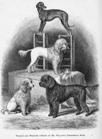 Poodles and Whippet 1876