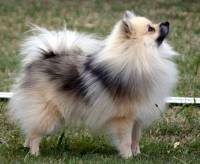 German Spitz (Klein)