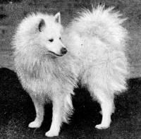 White Spitz c 1900