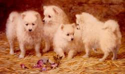White German Spitz pups 1890