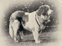 Saint Bernard imported 1892