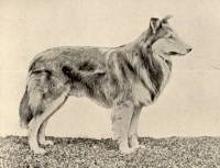 Collie (Rough Coated) born 1894