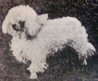 Poodle (Miniature) born 1910