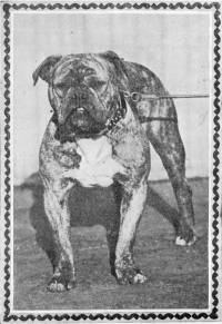 Old type Bulldog