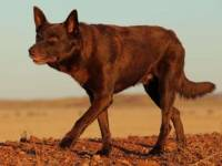 'RED DOG' as portrayed on the movie set of the film