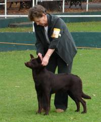 Koko as a showdog