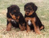 Airedale Terrier pups