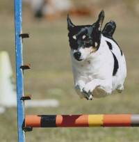 Tenterfield Terrier doing Agility