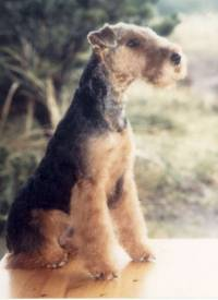 Welsh Terrier 9 months old