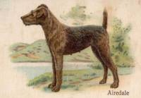 Airedale c 1910