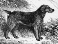 Airedale - 'Fracture' 1883