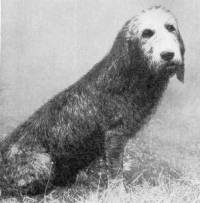 Otterhound c 1800