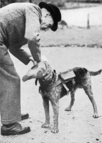 Messenger dog in World War One