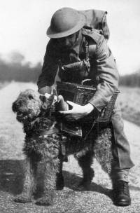 Airedale with carrier pigeon