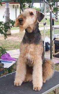 Sheep Coated Airedale