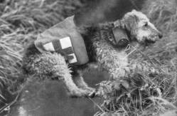 Airedale Carrying Messages