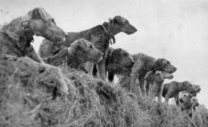 Airedales as Sentry Dogs c 1910