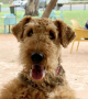 Airedale Colins Jessie