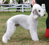 Bedlington (Blue)