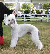 Bedlington Terrier (Blue)