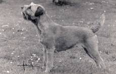 Border Terrier NZ late 1970's