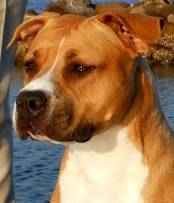 Am Staffordshire Terrier