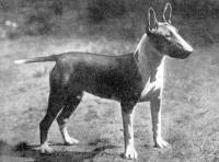 Bull Terrier (coloured) c 1930