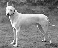 Old English White Terrier c 1860